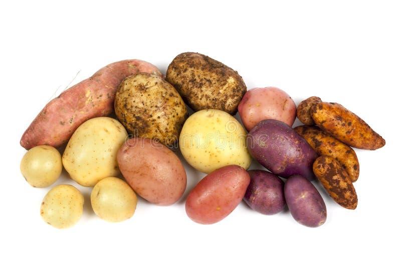 Variétés de pomme de terre d'isolement sur le blanc image libre de droits
