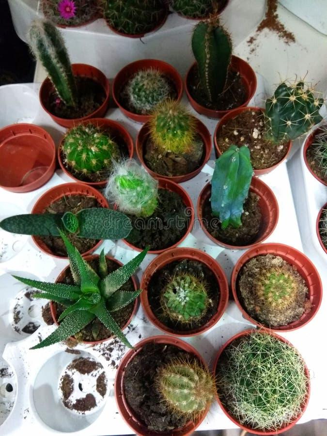 vari cactus sullo scaffale nel deposito fotografie stock libere da diritti