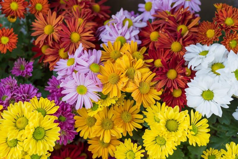 Vari colori dei fiori della mummia fotografie stock libere da diritti