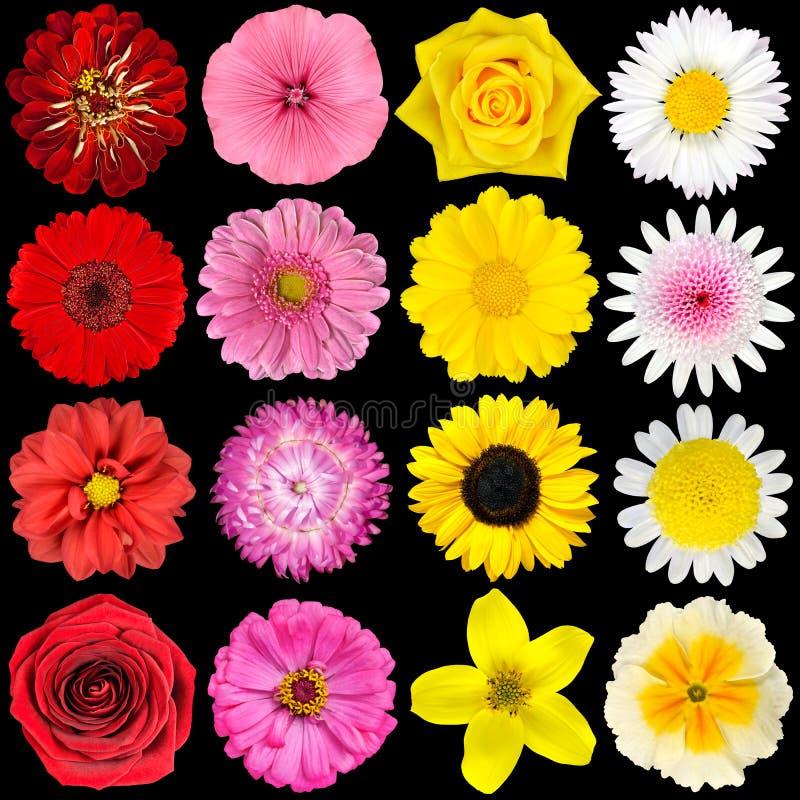 Vari fiori bianchi gialli dentellare e rossi immagine for Nomi fiori bianchi e gialli