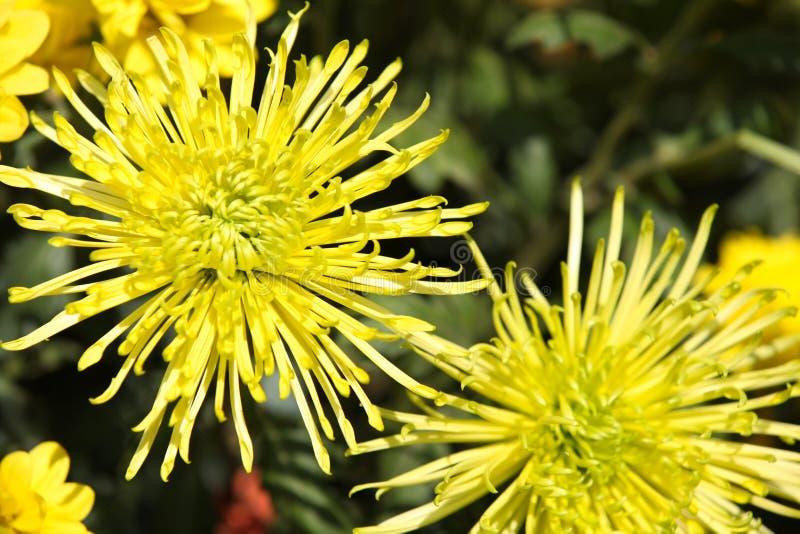 Vari fiori gialli luminosi in composizione, Tailandia immagini stock libere da diritti