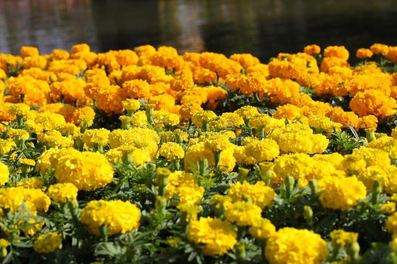 Vari fiori gialli luminosi in composizione, Tailandia fotografie stock libere da diritti