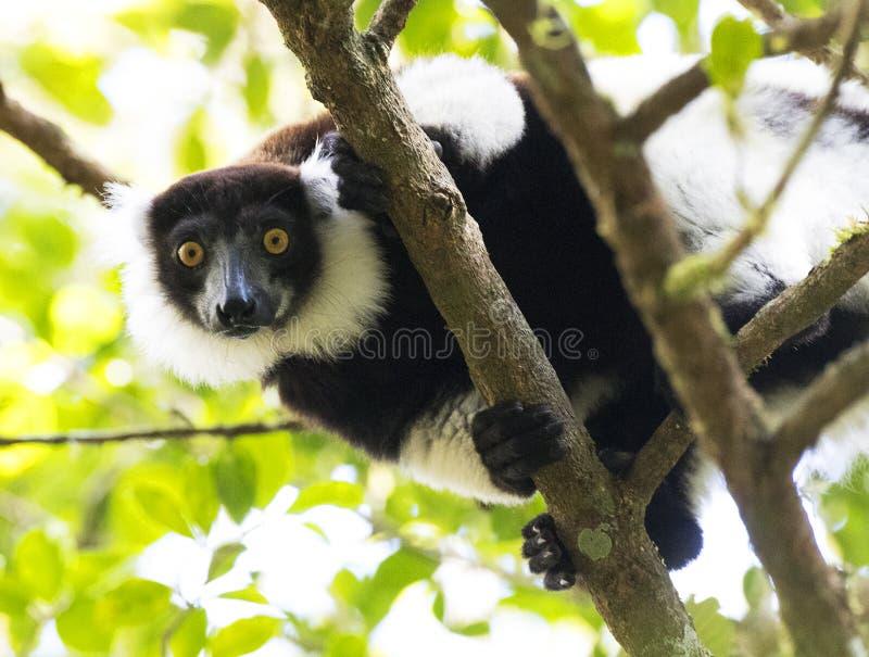 Vari, lémur ruffed noir et blanc, variegata de Varecia images stock