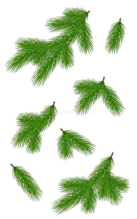 Vari rami verdi del pino Primo piano insieme Isolato senza sha fotografia stock