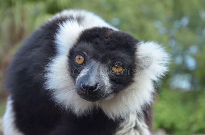 Vari ruffed noir et blanc de lémur photographie stock libre de droits