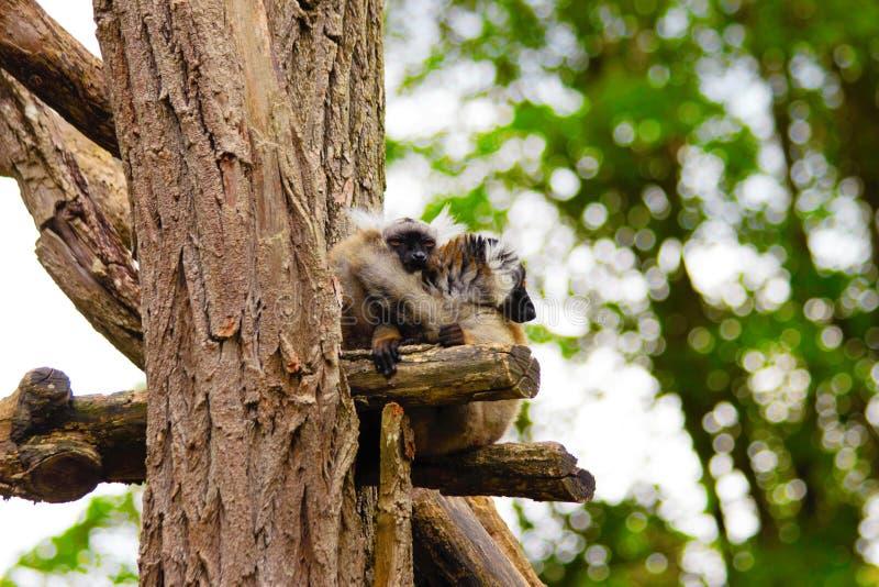 Vari se reposant sur la branche dans le zoo en Bavière à Augsbourg photo stock