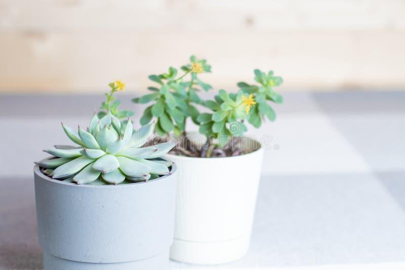 Vari succulenti, colorata di Echeveria, piante in vasi all'interno, copyspace, stile minimo fotografia stock libera da diritti
