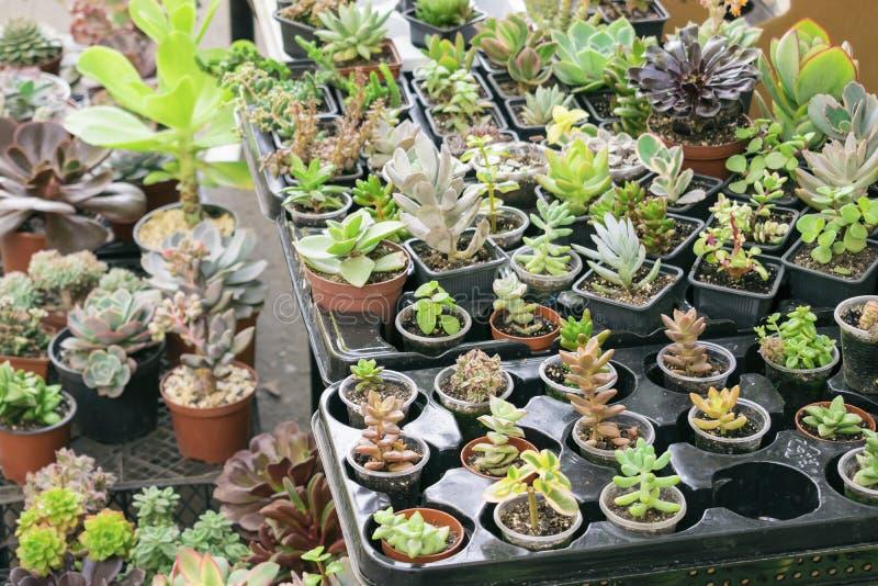 Vari tipi di vasi succulenti della pianta - echeveria, sempervivum, f immagini stock