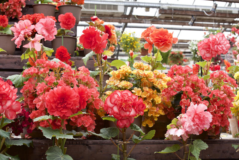 Varia begonia in giardino fotografia stock libera da diritti