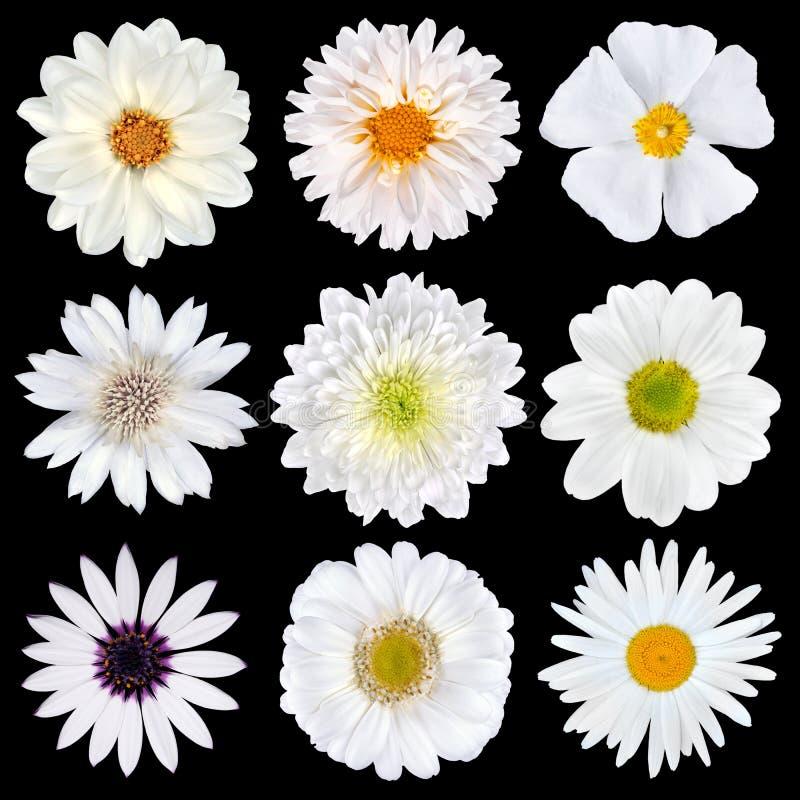 Varia selezione dei fiori bianchi isolati immagine stock libera da diritti