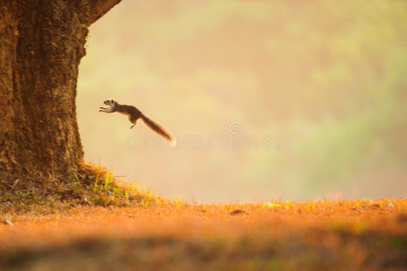 Variabel ekorrebanhoppning från en grässlätt till trädet royaltyfri bild