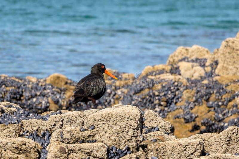 Variabel strandskata som söker för mat royaltyfri foto