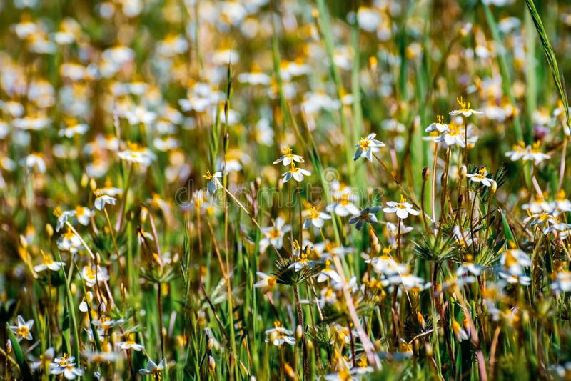 Variabla vildblommor f?r den LinanthusLeptosiphon parviflorusen som blommar p? en ?ng i det Edgewood l?net, parkerar, San Francis royaltyfri bild