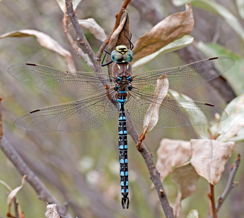 Download Variable Darner Dragonfly stock image. Image of insects - 39898043