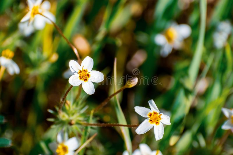 Variable Linanthus Leptosiphon parviflorus wildflowers blooming on a meadow in Edgewood County Park, San Francisco bay area,. California stock images
