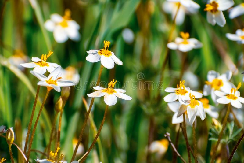 Variable Linanthus Leptosiphon parviflorus wildflowers blooming on a meadow in Edgewood County Park, San Francisco bay area,. California royalty free stock image
