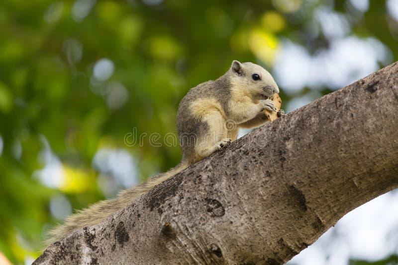 Variable squirrel royalty free stock photos