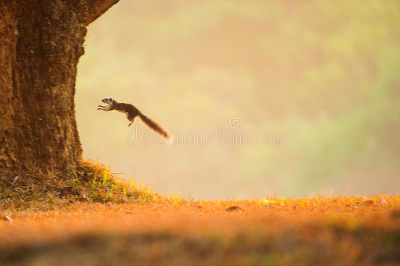 Variable squirrel jumping from a grassland to the tree. royalty free stock image