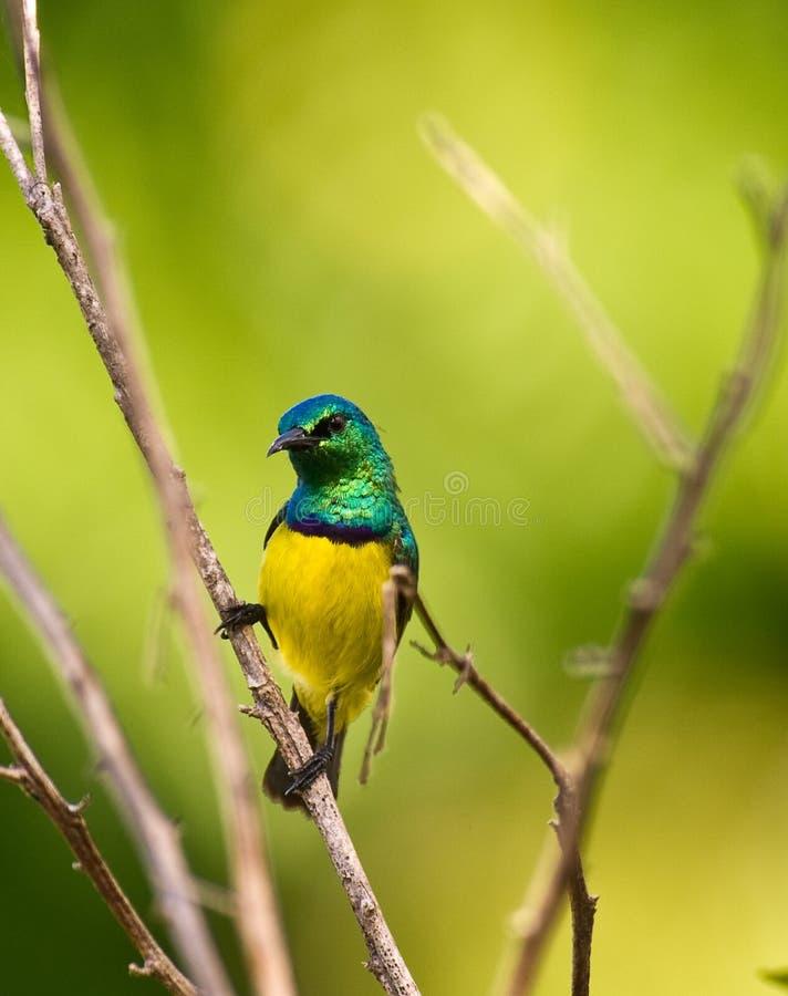 Variable Sunbird royalty free stock photos