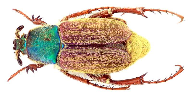 Varians de Glaphyrus - coleóptero/Glaphyridae fotos de archivo