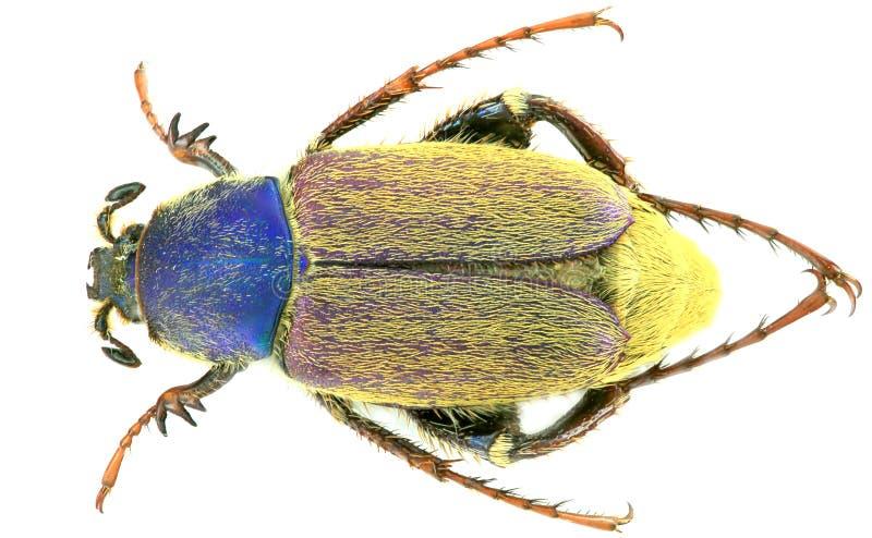 Varians di Glaphyrus - coleottero/Glaphyridae immagine stock