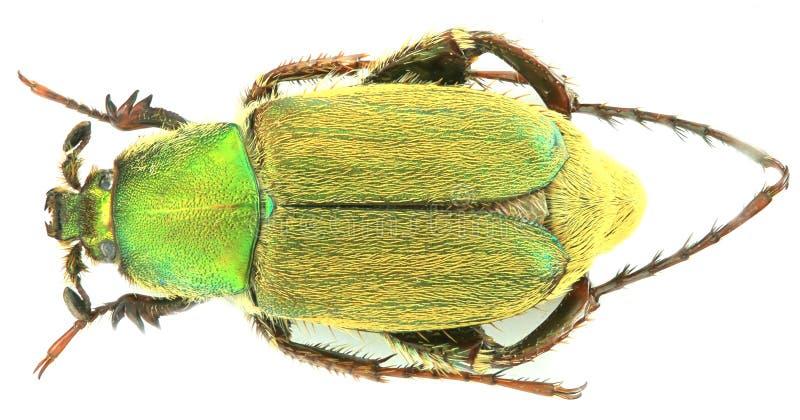 Varians di Glaphyrus - coleottero/Glaphyridae immagini stock libere da diritti