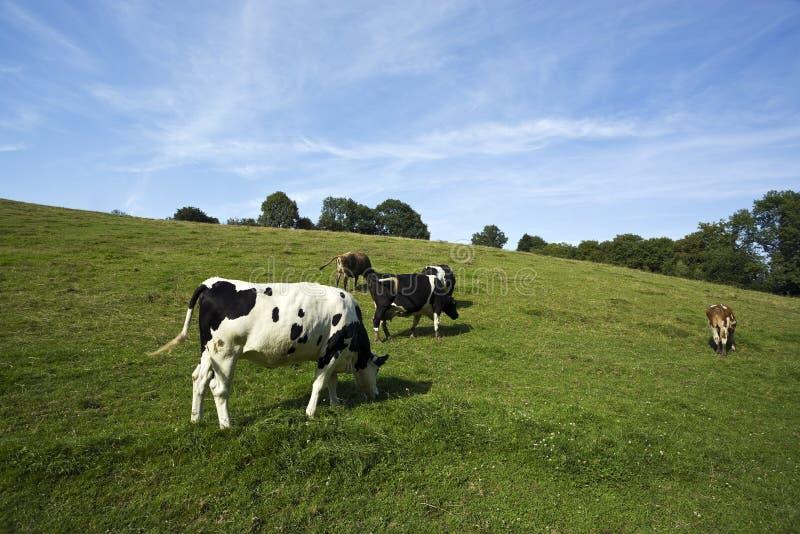 Varias castas de las vacas que pastan en prado imagenes de archivo