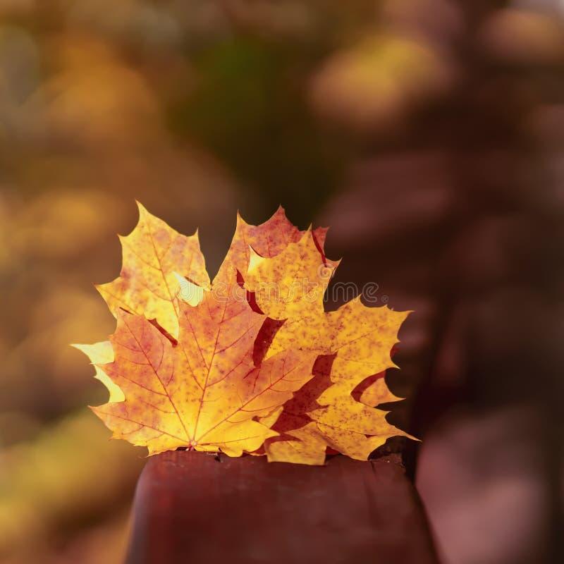 Varias de las hojas de arce caidas brillantes primer, día soleado, fondo natural del otoño Foco selectivo, espacio de la copia fotografía de archivo