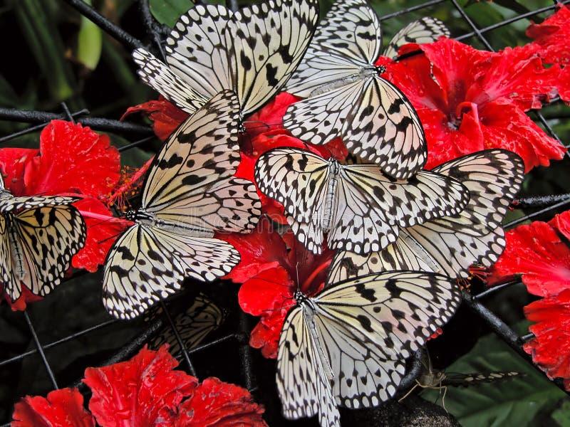 Varias mariposas blancas en las flores rojas foto de archivo