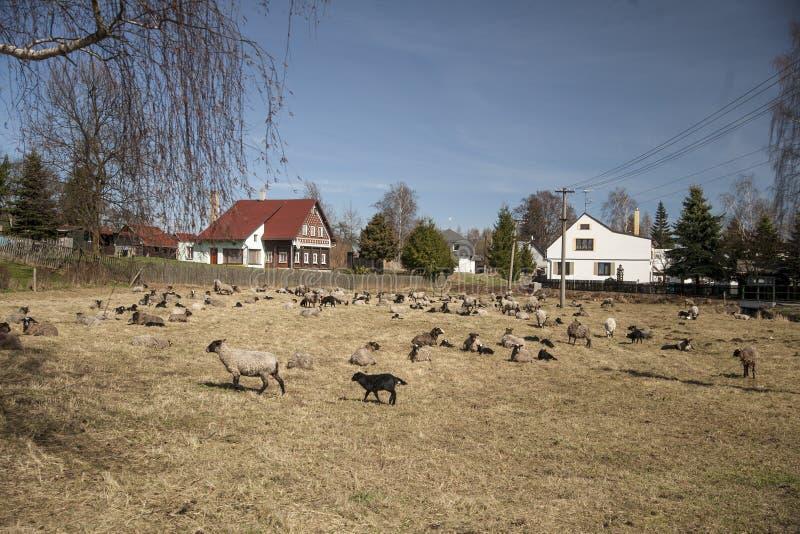 Varias ovejas en un prado en el pueblo Stare Krecany fotos de archivo libres de regalías