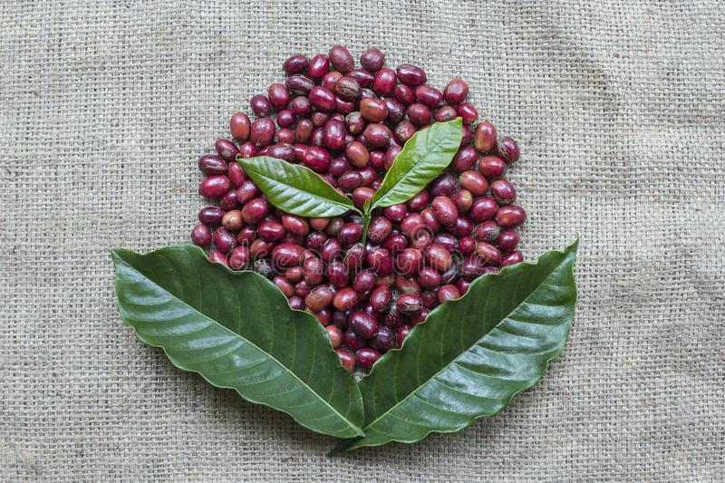 Variatievorm van Koffiebessen stock fotografie