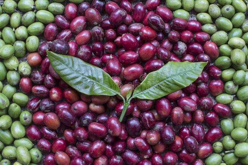 Variatievorm van Koffiebessen stock foto's