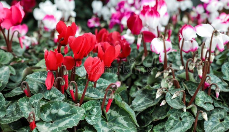 Variation av inlagda cyklamenpersicumväxter i blommastången arkivfoto