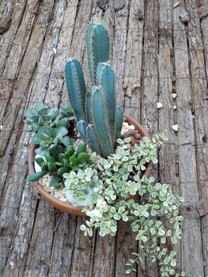 Variation av kaktusen arkivfoto