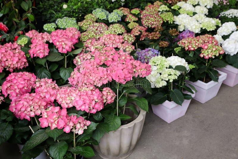 Variation av rosa färger, vit, blått, lila vanliga hortensior eller vanlig hortensiamacrophyllaen i grekträdgården shoppar royaltyfria foton