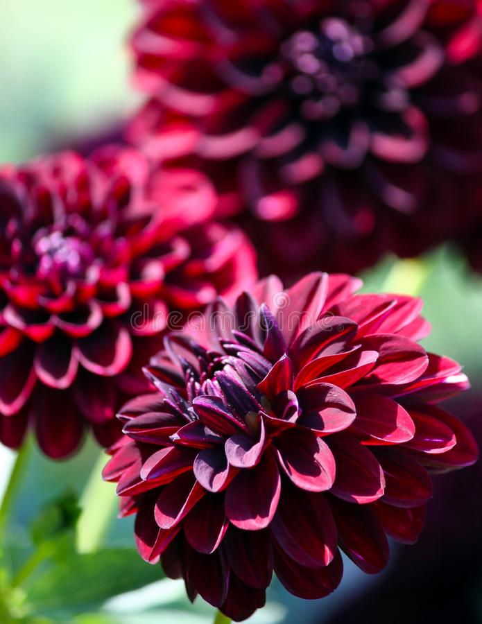 Variation av växten för asteraceae för krysantemumfidalgo den blacky arkivfoto