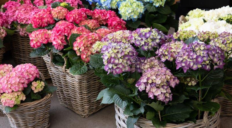 Variation av vanlig hortensiamacrophyllablommor i violetta, rosa vita färger i trädgården shoppar royaltyfri foto
