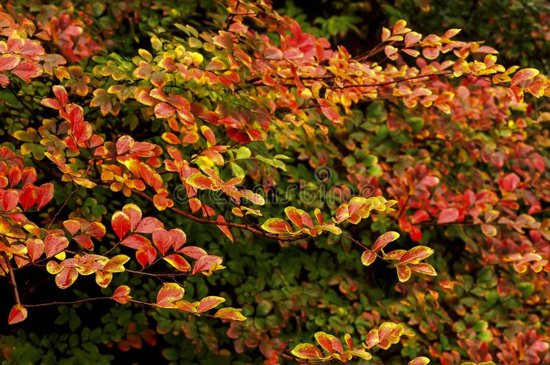 Wonderful Colour Variation in These Leaves, Crepe Myrtles Really put on a Show in Autumn. royalty free stock photo