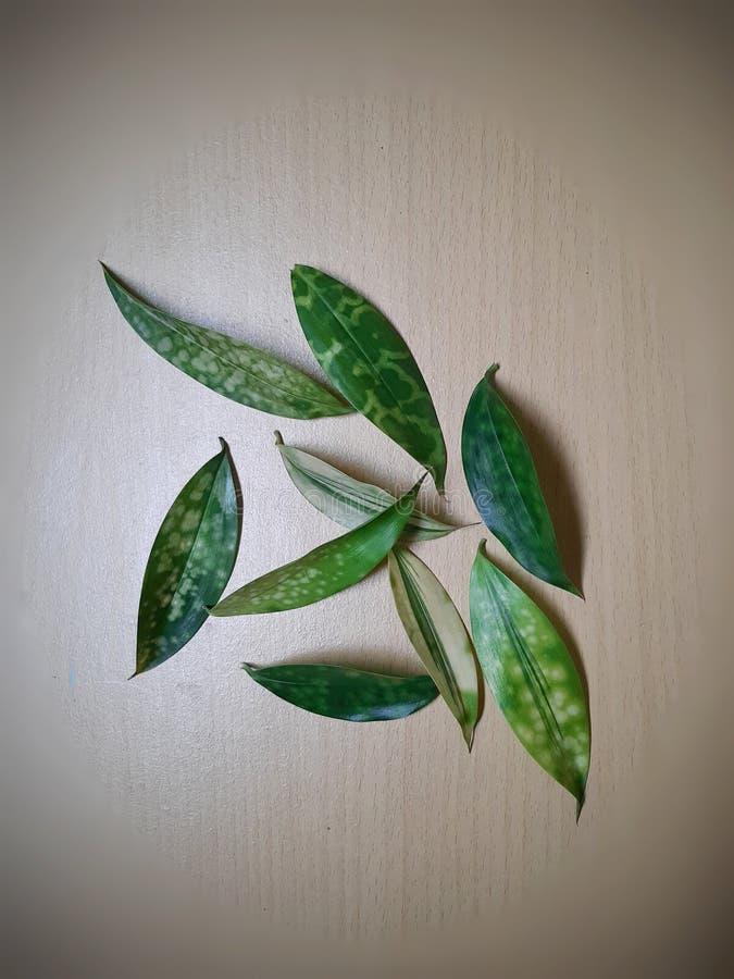 Variation des points sur les feuilles de Dracaena Surculosa aussi connue sous le nom de Dracaena Gold Dust image stock