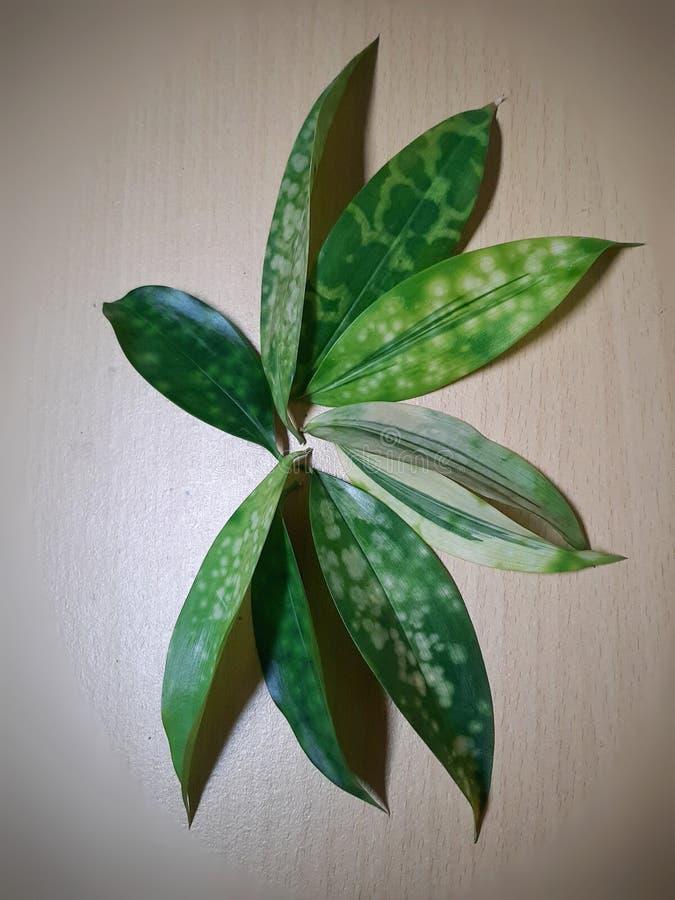 Variation des points sur les feuilles de Dracaena Surculosa aussi connue sous le nom de Dracaena Gold Dust photos stock
