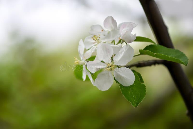 Variationer av foto med härliga och delikata blommor av äpplefruktträdgården som blommar vårträdgården royaltyfria foton