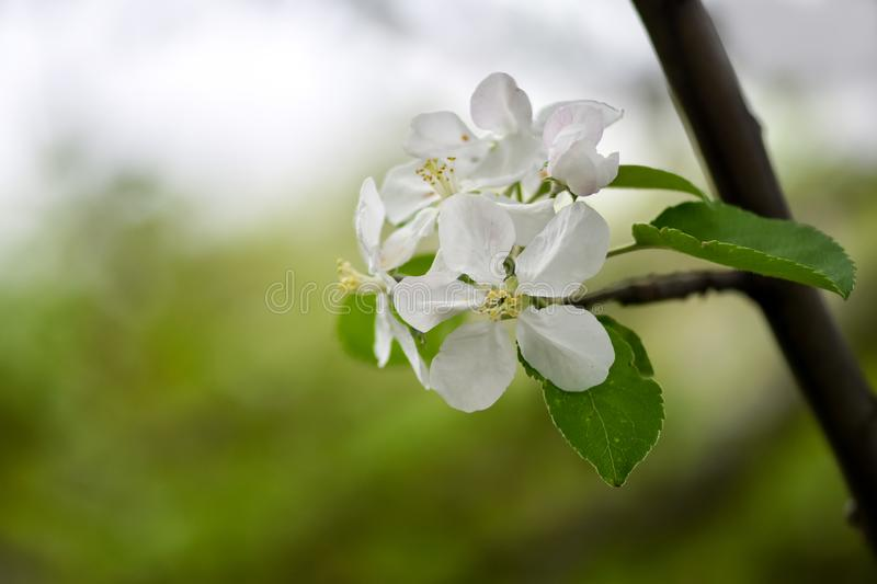 Variations of photos with beautiful and delicate flowers of the apple orchard, blooming spring garden royalty free stock photos