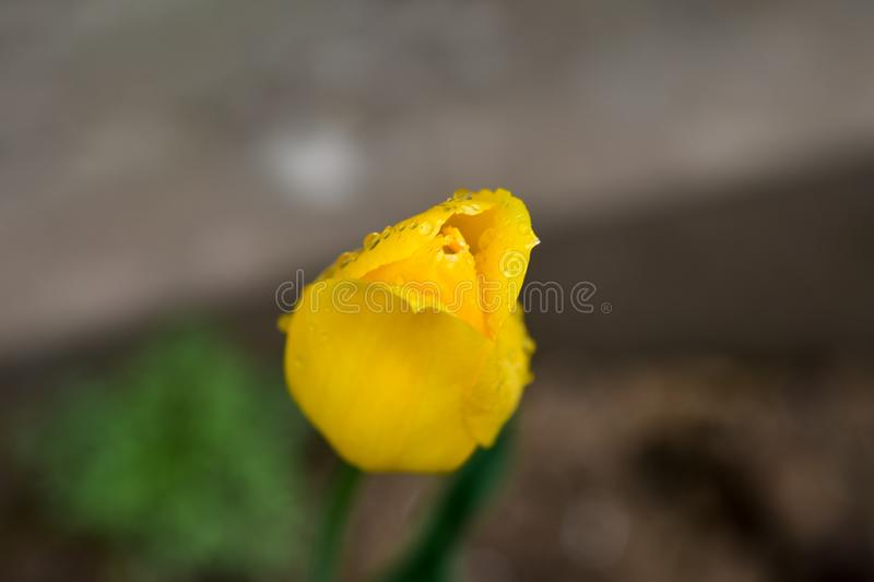 Variations of photos with a beautiful, gentle and lonely flower of a yellow tulip in a garden with raindrops, pure and spring. royalty free stock images