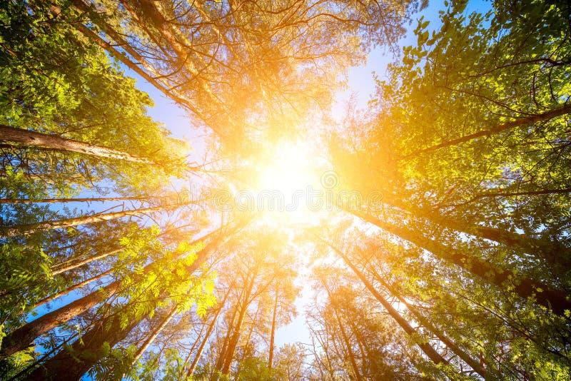 Variationskronor av skogen för träd på våren mot den blåa himlen med solen Nedersta sikt av träden royaltyfri foto