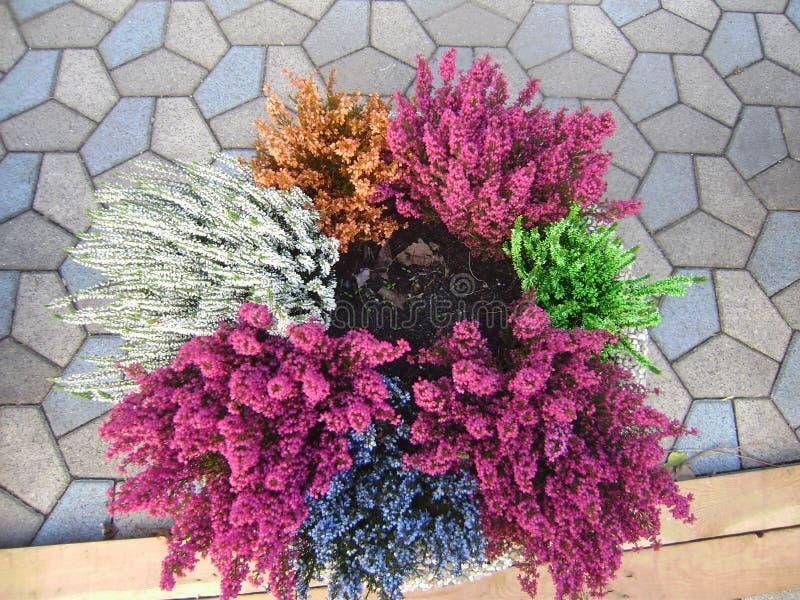 Varicoloured вереск в цветочных горшках на плитке мозаики Концепция сада осени зацветая стоковое изображение rf