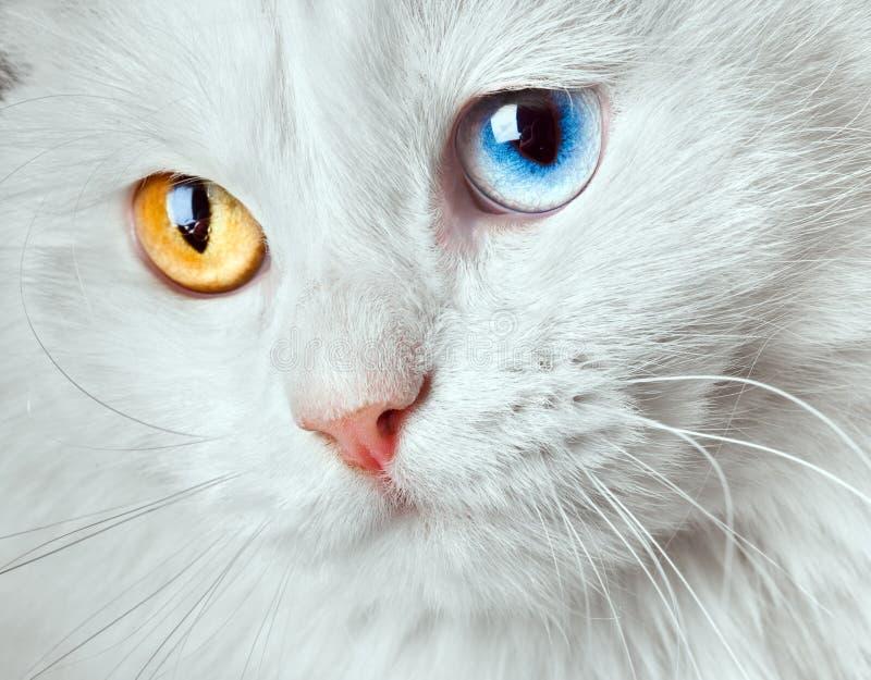 Varicoloured eyes white cat royalty free stock photo