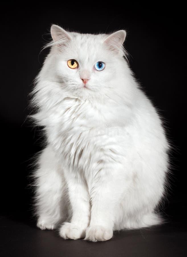 Free Varicoloured Eyes White Cat Royalty Free Stock Images - 14184639