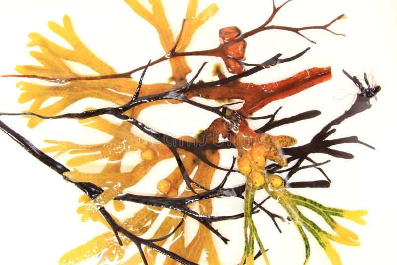 Varie alghe brune fotografia stock libera da diritti
