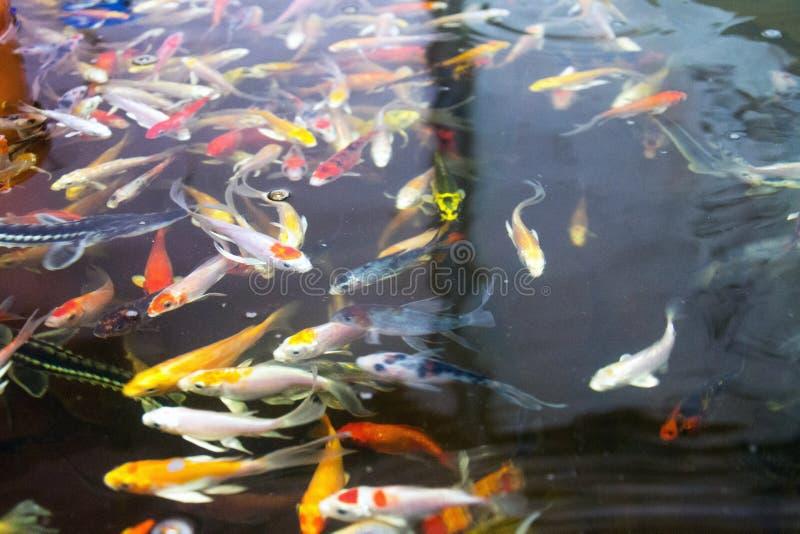 Varie specie del pesce nel sistema di sistema integrato di acquacoltura e coltura idroponica, combinazione di acquacoltura del pe fotografie stock libere da diritti