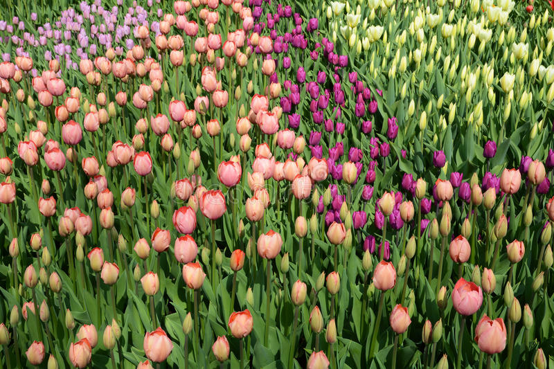 Varied colors of tulips on the flowerbed. Large buds of tulips.  royalty free stock photography